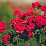 "#11 – Bunga-bunga Itu Angkuh: Review ""Dilarang Mencintai Bunga-bunga"" oleh Kuntowijoyo"